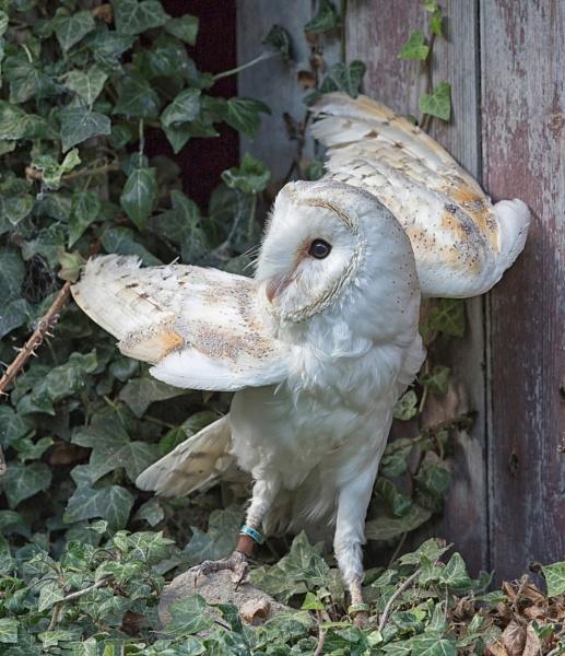 Stretching Barn Owl by Grangeflyer