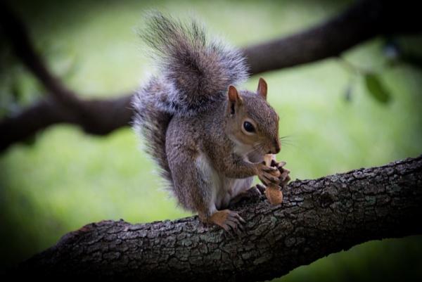 Squirrel eating a peanut by mrota