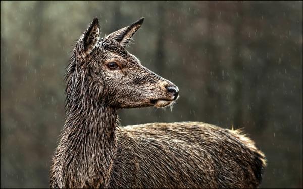 Red deer in the rain by teepee
