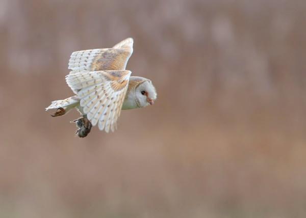 Barn Owl with Prey by Karen_Summers