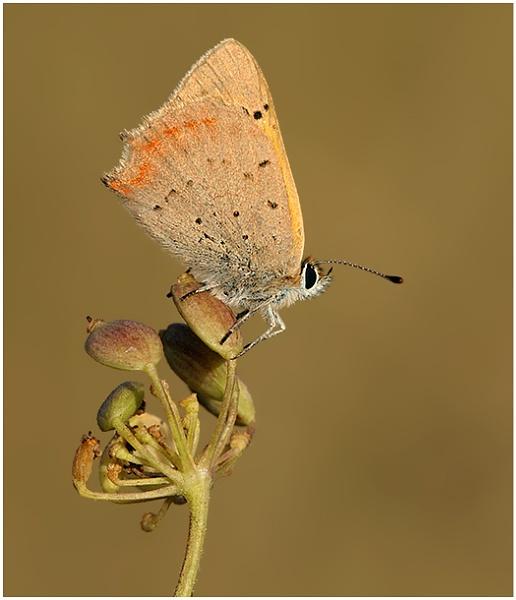 Small  Copper by NigelKiteley