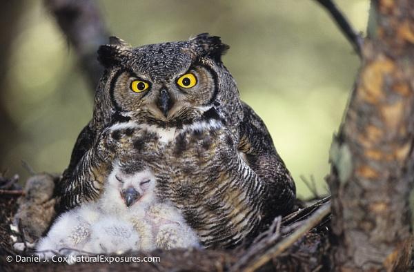 00560-01310 Great Horned Owl by danieljcox