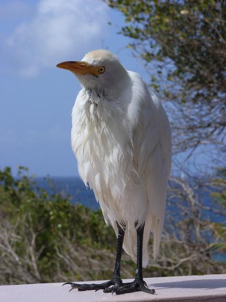Grenadian Egret by woodcock
