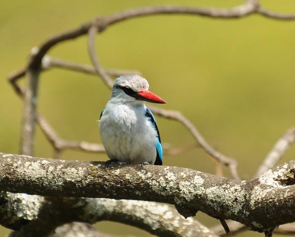 Kingfisher in the Ngorongoro in Tanzania by StuartDavie
