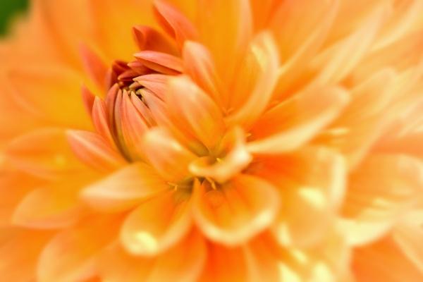 Sunny Chrysanthemum by WeeGeordieLass