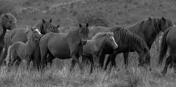 Dartmoor ponies on the move. by 10delboy