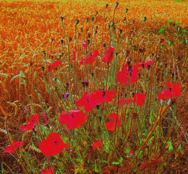 autumnal poppies by EssexBienen