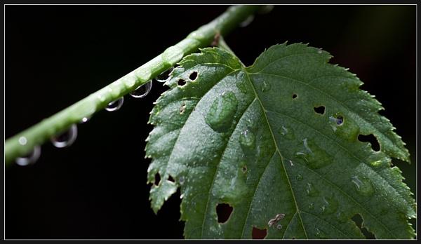 Wet Leaf by Morpyre