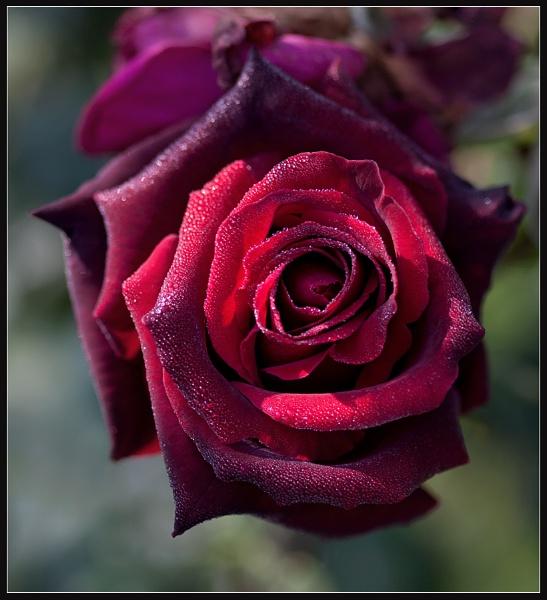 Morning Rose by Morpyre