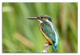 Female Kingfisher Alcedo atthis