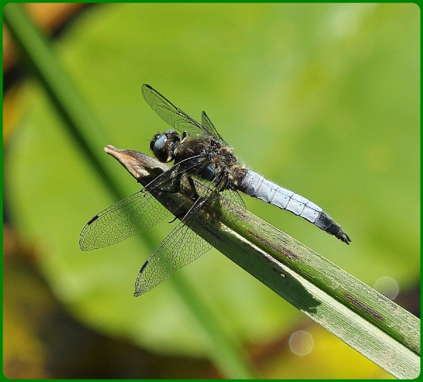 Scarce Chaser by Glostopcat