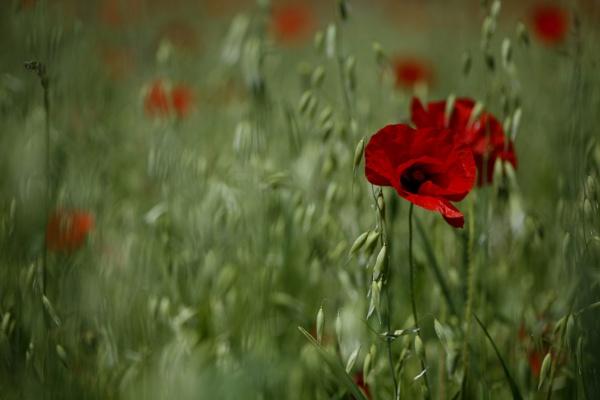 Poppy by jogennard