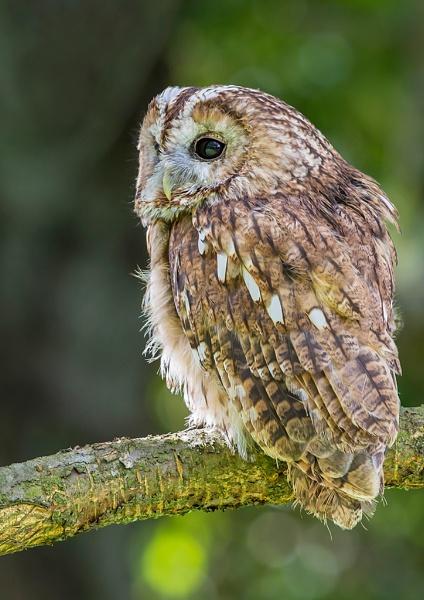 Tawny Owl by Grangeflyer