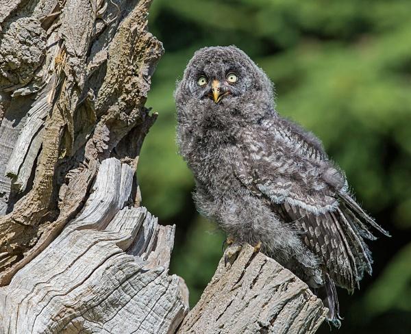 Juvenile Great Grey Owl by Grangeflyer