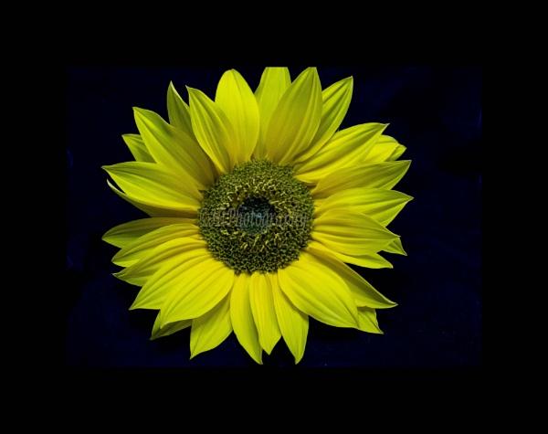 Pretty sunflower by elliemoo
