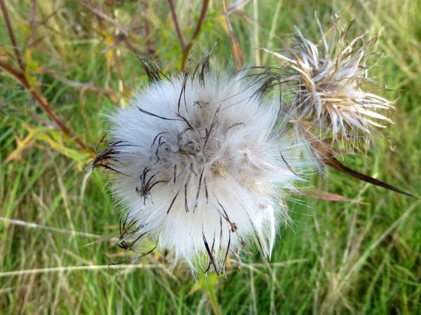 THISTLE  (onopordon acanthium?)