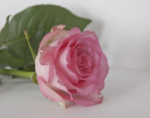 Pink by stephens55