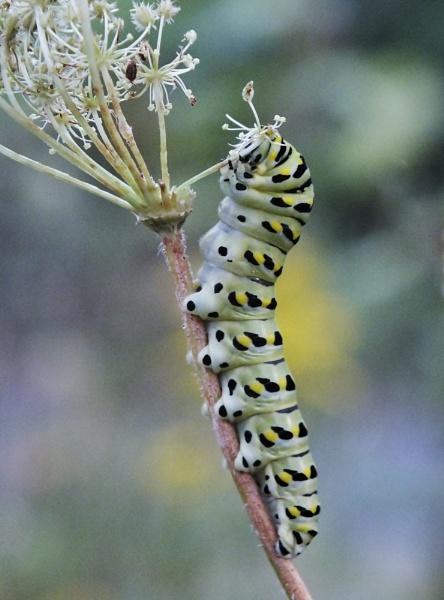 Caterpillar by cptdaniel