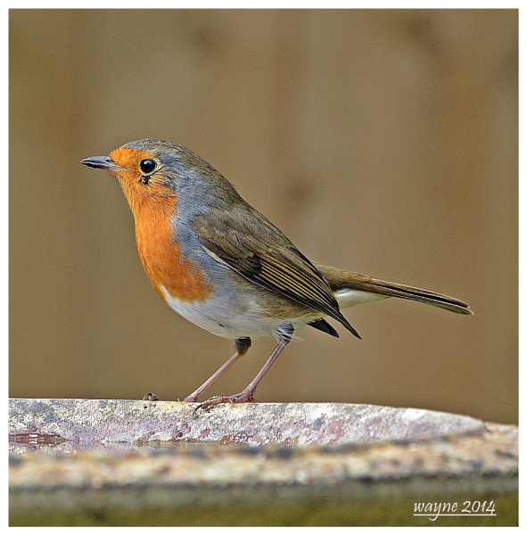 robins by wayne65