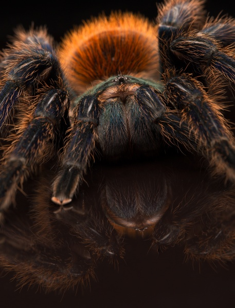 Greenbottle Blue Tarantula by robinleess