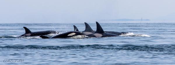 Orca by Chetto