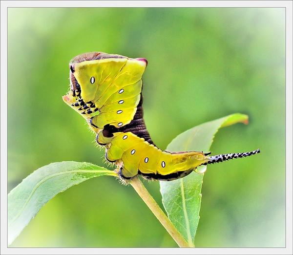 Puss caterpillar. by bricurtis