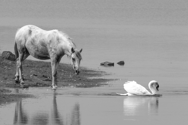 Horse and Swan by mjstead