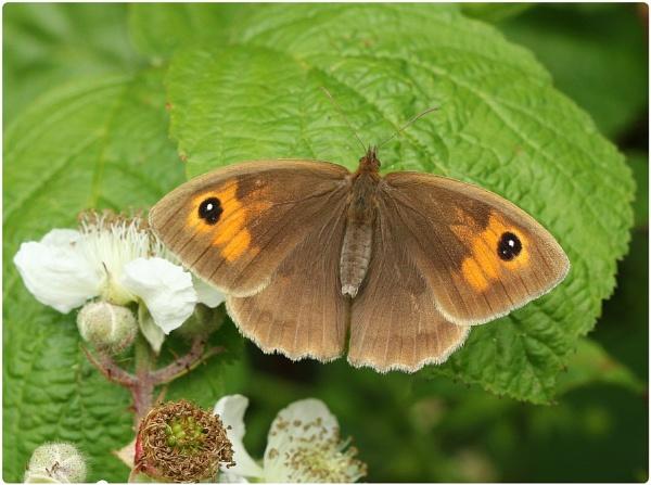 Female Meadow Brown by Glostopcat