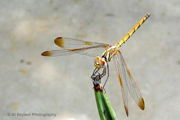 Dragonfly by jmu