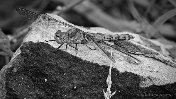 Common Darter by Alan_Baseley