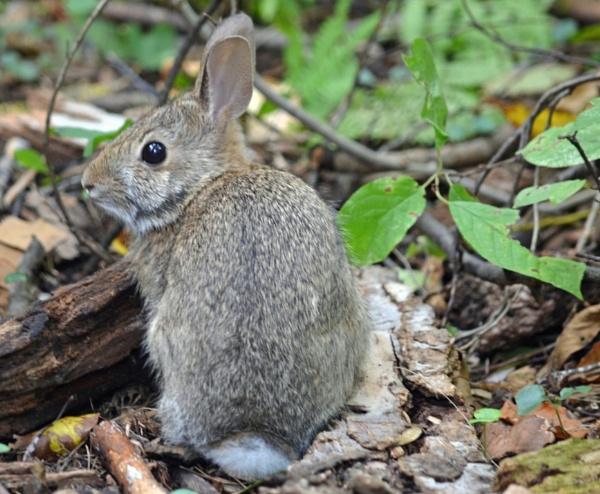 Wild Rabbit by Jaliya