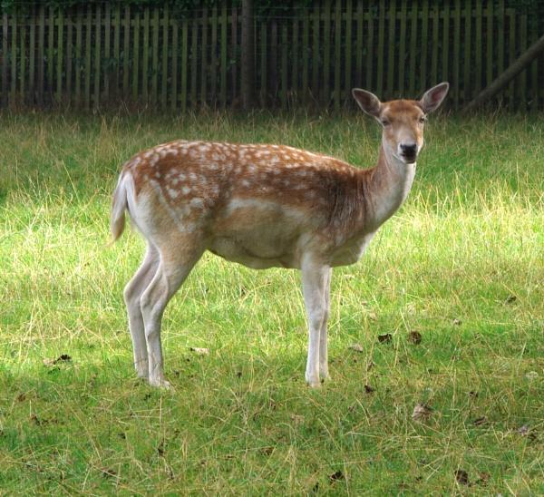Fallow Deer by pentaxpatty