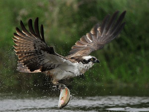 Osprey by RomanyBill