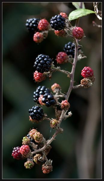 Blackberries by Morpyre