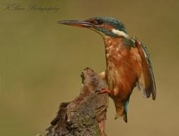 Landing Kingfisher
