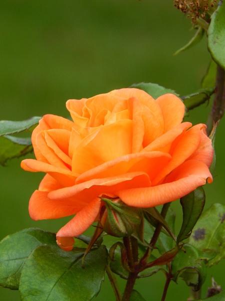 Simply Roses by digital_boi