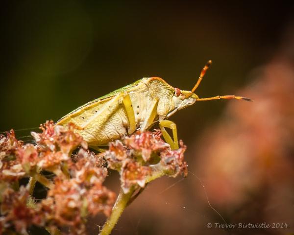 Green Shield Bug by Trev_B