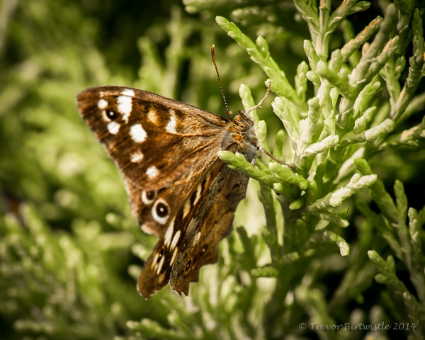Speckled Wood On Conifer by Trev_B