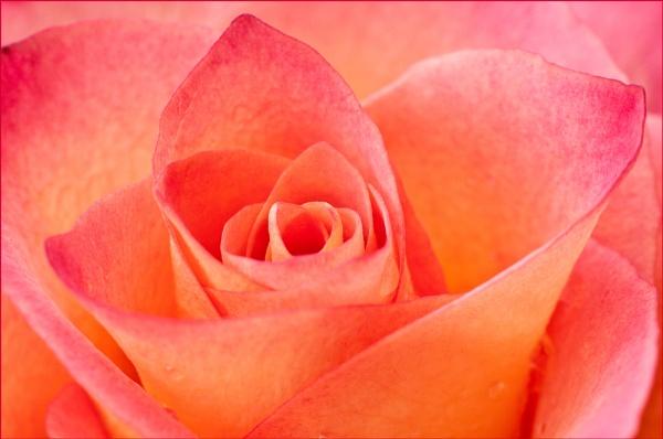 Rose Detail by KentishChap