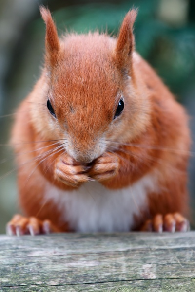 Red Squirrel by JackC