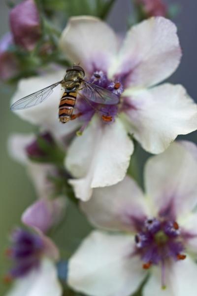 Hoverfly by gowebgo
