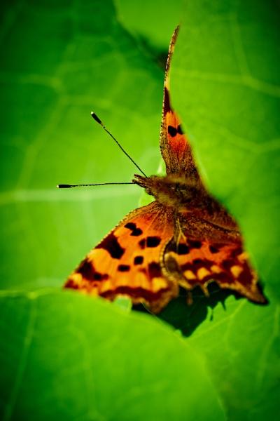 Comma Butterfly by gowebgo