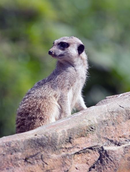 Meerkat by lostnspace2011