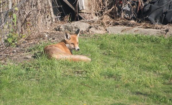 sly fox by yamahaman