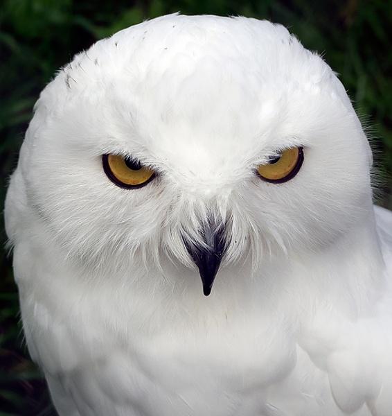 Snowy Owl by bppowell