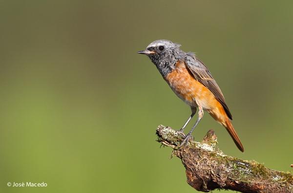 Redstar (Phoenicurus phoenicurus) by lord_macedo
