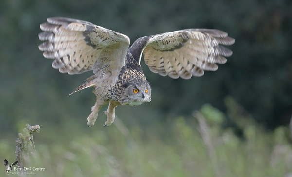 European Eagle Owl (c) by VinceJones
