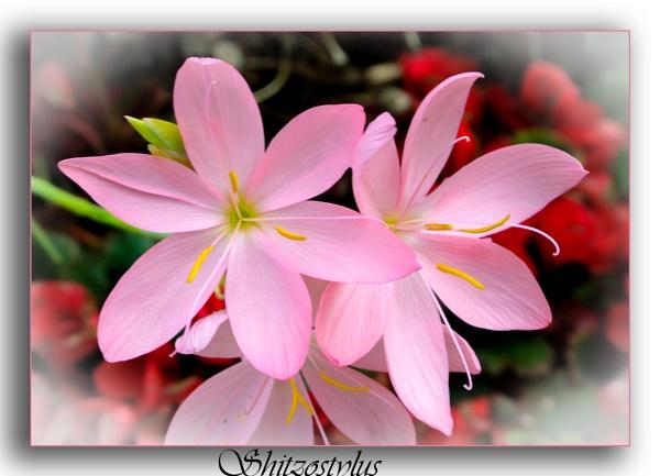 My pink Lily by Mavis