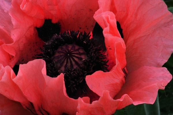 Poppy by johnwnjr