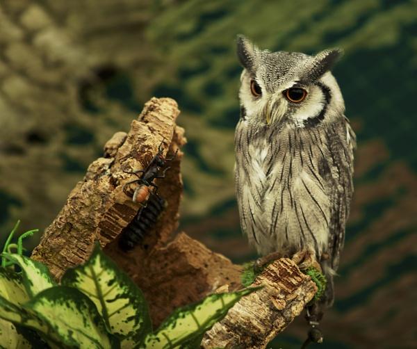 Long Eared Owl by Granddad